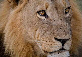 Big Cats on Camera - Robert Mark Safaris - Luxury African Safaris